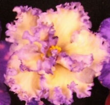 African Violet Plant- Ma's Ching Dynasty