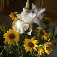 Re-Bloomer Tall Bearded Iris 2 / 'Immortality'