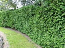 10 Western Red Cedar /Thuja 'Gelderland 1-2ft tall in 9cm pots evergreen hedging