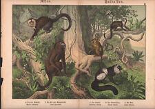 1886 Belle lithographie originale singes lémuriens capucin animaux gravure