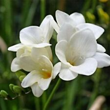 Perennial Freesia Bulbs Resistant Floral Flower White Bonsai Rich Elegant Plant