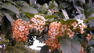 Parfümbaum Fagraea berteriana blühende Zimmerpalme Duftkräuter Palme für drinnen