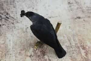 Beauty Dark Jackdaw & Beetle Stuffed wood Mount Crow Taxidermy Bird