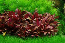PIANTA PIANTE ROSSA ACQUARIO ALTERNANTHERA REINECKII MINI LIVE AQUARIUM PLANT !