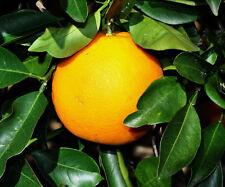 "Dwarf Orange Tree Citrus 1 tree Grow Your Own Oranges Small Tree Nice 8-15"""