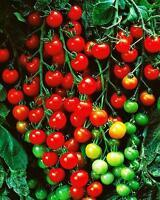 10 Samen Tomate Supersweet 100, F1 Hybride, Kirschtomate, supersüß