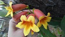5 PLANTS CROSS VINES TANGERINE BEAUTY BIGNONIA YELLOW ORANGE RED TRUMPET FLOWER
