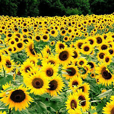 40pcs Giant Yellow Sunflower Rare Sungold Seeds  Annuus Seed Organic Helianthus