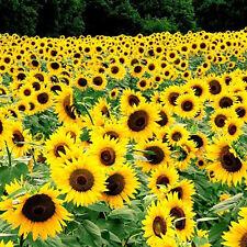 40pcs Giant Yellow Sunflower Rare Sungold Seeds  Annuus Seed Organic Helianthus