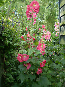 50 SEEDS ORGANIC NORFOLK HOLLYHOCK,CERISE PINK,COTTAGE GARDEN SEEDS