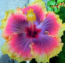 Hibiscus 🌺SUN FRIZZLE Seeds Dinnerplate Flowers Perennial Tropical Rainbow