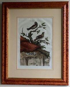 "Antique Nozeman-Sepp 1770 Fringilla domestica Engraving - Frame 23"" x 29"""