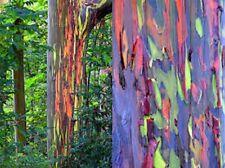 5 x Eucalyptus Deglupta seeds. Rainbow Eucalyptus Tree.