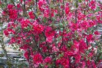Garten Saatgut  immergrüne Pflanze Zierbaum ZIERQUITTE