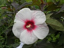 Hardy Hibiscus Seeds - KOPPER KING - Winter Hardy Flowering Perennial -10 Seeds