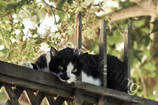 Relaxing Tuxedo Cat Photograph by Andrew Starling Signed Pet Animal Print 5x7