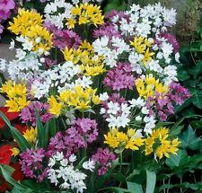 More details for 10 bulbs allium mix gardening beautiful spring summer flower perennial plant