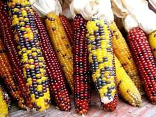 HEIRLOOM CORN - FLINT - 60 SEEDS - Indian corn - vegetable - ZEA MAYS