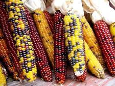 HEIRLOOM CORN - FLINT - 60 SEEDS - Indian corn - vegetable - ZEA MAYS