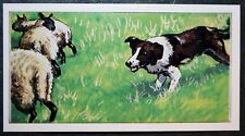 Border Collie    Working Sheepdog   Illustrated Card  CAT M
