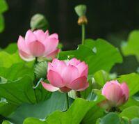 15 Samen Indische Lotusblume Nelumbo nucifera, Lotus (Weiß-Pink)