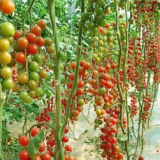 10x Tomato Tree Seed Delicious Fruits Vegetables Plant Organic Heirloom Seed