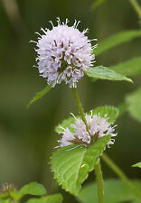 40 graines de MENTHE D' EAU (Mentha Aquatica)G930 WATER MINT SEEDS SEMILLAS SEMI