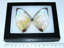 REAL FRAMED BUTTERFLY MOTHER OF PEARL PERUVIAN MORPHO SULKOWSKI