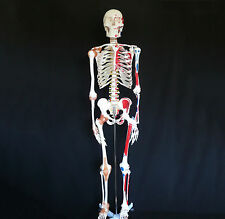180cm Anatomical Human Skeleton Model with Ligaments & Painted Muscles - Medical