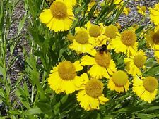 50+ HELENIUM HOOPESI GOLDEN PERENNIAL FLOWER SEEDS