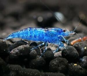 BLUE DIAMOND VELVET SHRIMP - DEEP BLUE COLOUR FRESH WATER AQUARIUM LIVE FISH