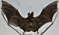 Real Intermediate Horseshoe Bat Rhinolophus affinis Spread FAST FROM USA