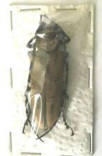 Cerambycidae - Apriona elsa - Malaysia