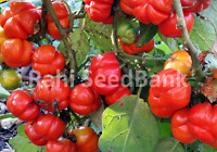 Red Ruffled Eggplant - A Rare, Sweet Flavoured Delicious Eggplant - 10 Seeds!