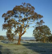 Yellow Box (Eucalyptus melliodora) - A Great Honey Tree 100 Seeds