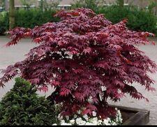 Acer Palmatum Bloodgood,JAPANESE MAPLE.