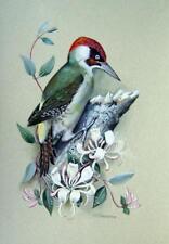 Ornitologia un Picchio su un ramo Margaret sherbourne con col 1971