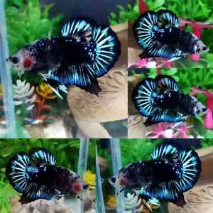 Green Black Star Halfmoon Plakat Male - IMPORT LIVE BETTA FISH FROM THAILAND