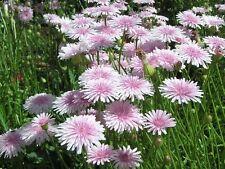 25 graines de CREPIDE ROSE (Crepis Rubra) X254 PINK HAWKSBEARD SEEDS SAMEN SEMI