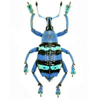 Eupholus magnificus ONE REAL WEEVIL BEETLE BLUE GREEN INDONESIA