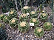 100 Semi Echinocactus grusonii Cuscino di suocera Pianta Grassa Cactus seeds