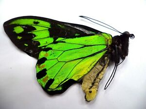 UNMOUNTED BUTTERFLIES/ORNITHOPTERA  VICTORIA REGIS MALE .