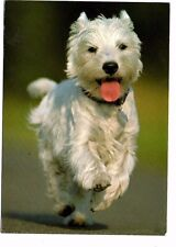 West Highland White Terrier - Dog Postcard