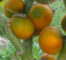 NARANJILLA LULO solanum quitoense rica fruta 60 semillas frescas