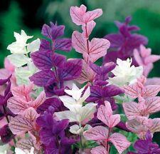 Seeds Sage Salvia Tricolor Mix Herb Flower Perennial Garden Cut Heirloom Ukraine