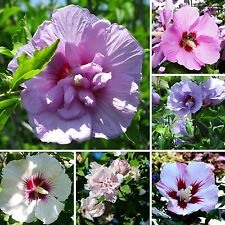 250 semi roseneibisch Mix-Hibiscus Syriacus-fervida siepe-Hibiskus-Seed