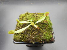 Venus Fly Trap Cupped Trap Cultivar Dionaea Muscipula House/Garden Plant