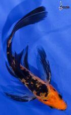 "New listing 5"" Doitsu Aka Bekko Butterfly Koi live fish nextdaykoi Ndk"