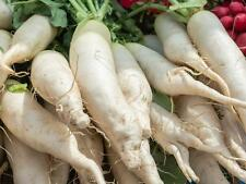 """""Radish - White Icicle (raphanus sativus) 50 Reliable Viable Seeds"