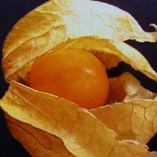 CAPE GOOSEBERRY - 60 Seeds  [..edible golden-berried fruits (Physalis edulis)]